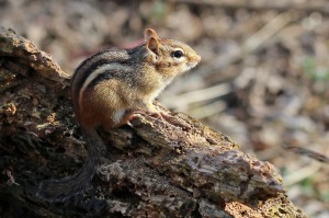 A city chipmunk dreaming of the countryside. Or peanuts.