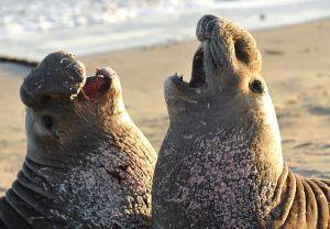 Elephant seal throwdown