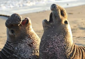 Elephant seal throwdown