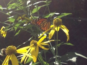 Stefanie's beautiful garden with monarch butterfly