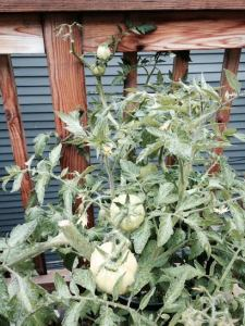 My 3-foot tall tomato plant. Smells like tomatoes.