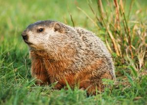 groundhog side eye