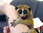 Slow loris is slow