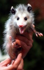 Hissing Baby Opossum